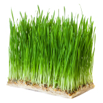 Germinados de trigo FANYA, hierba de trigo o wheatgrass FANYA